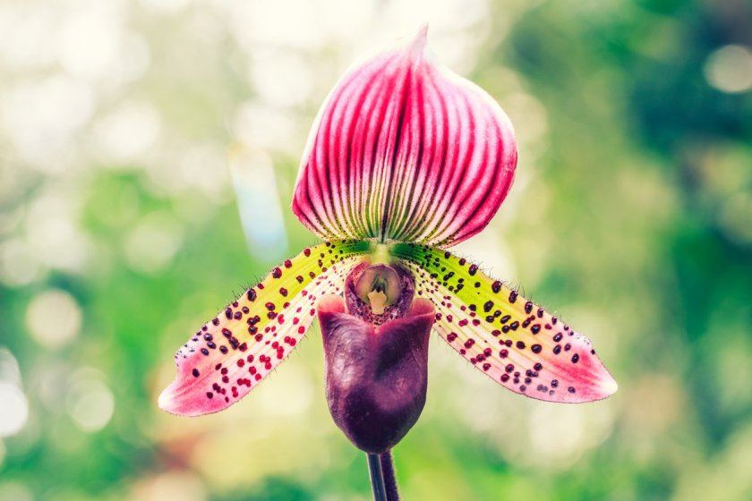 Paphiopedilum orchid flowers bloom in natural world